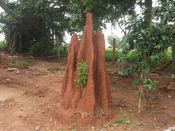 Anthill hosting plants in its fertile soil.