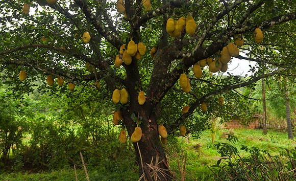 Picture of the jackfruit tree with fruits.
