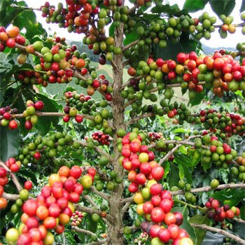 Coffee plant with coffee berries