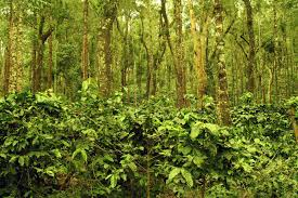 Coffee plantation- Coffee plants grow under the shade of trees