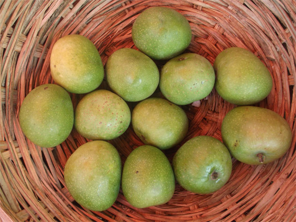 Raw mangoes for aavakaya pickle